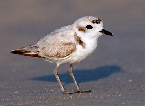 Snowy Plover  Introduction  Birds of North America Online