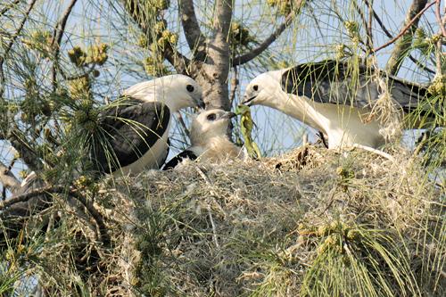 white kite bird
